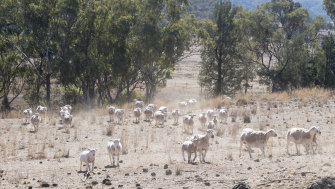 Sheep hunt for grass in a farm near Manilla in northern NSW.