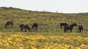 Feral horses at Long Plain near Kiandra in the Kosciuszko National Park, NSW.