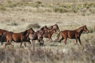 Feral horses, also known as brumbies or wild horses, seen at Long Plain, NSW.