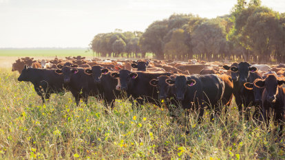 Rising Wagyu beef sales and prices buttress AACo's results