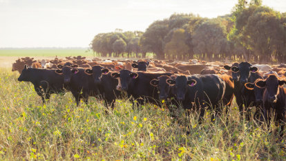 AACo rides a Wagyu wave as it recovers from floods
