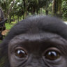 An infant Bonobo looks on while keepers help baby bonobos at a sanctuary in Kinshasa, Democratic Republic of Congo.