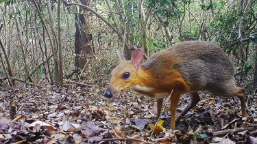 The diminutive silver-backed chevrotain has been rediscovered by researchers after being feared extinct for 30 years.