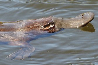 The bill of the platypus can detect the electrical impulses emitted by water bugs. A platypus devours a quarter of its own weight in water bugs every day.