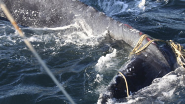 The whale was found in waters off Bondi tangled in ropes, with deep wounds on its tail.