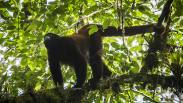 Yellow tailed wooly monkey in trees of the Alto Mayo Protected Forest.  Yellow tailed wooly monkey in trees of the Alto Mayo Protected Forest.