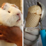 Guinea pig ice-cream: A scoop that's hard to swallow