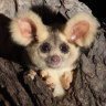 Logging protection zones for greater glider ravaged by bushfires
