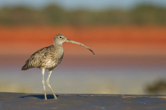 The eastern curlew, photographed near Broome, is one of the species dependent on the Eighty Mile Beach wetland.