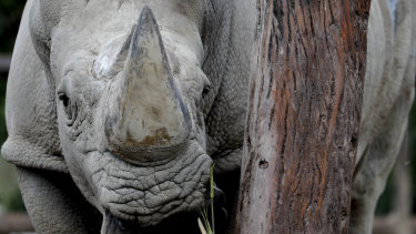 A rhinoceros inside his enclosure at the Eco Park in Buenos Aires.