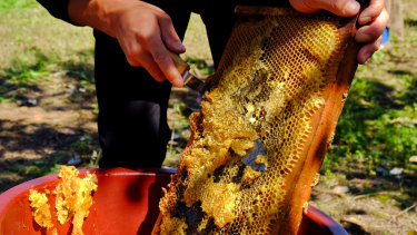 A thin layer of propolis is cut off before honey is extracted from beehives..