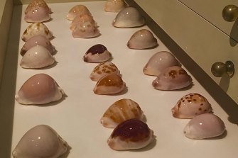 Some of Martin Hiscock's prized shell collection.