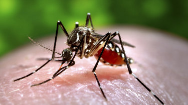 An Aedes aegypti mosquito which is capable of transmitting dengue fever and other tropical diseases.