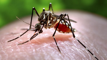 An Aedes aegypti mosquito which is capable of transmitting the disease.