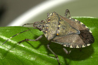 An invasive brown marmorated stink bug.