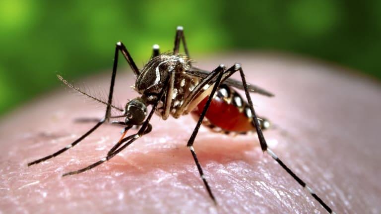 An Aedes aegypti mosquito: Alphabet wants to eradicate mosquito-borne diseases around the world.