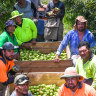 Victorian farmers plead for extension of Pacific worker scheme ahead of harvest