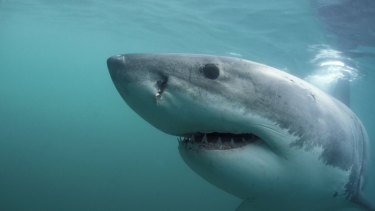 Australians are developing a certain tolerance of great whites.
