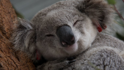 'Alarmingly relaxed': Government slammed for koala inquiry response