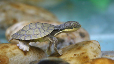 Bellinger River snapping turtle saved from extinction by canoeists
