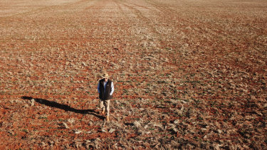 Neil Westcott walks across his failed Canola crop near Parkes in 2018.