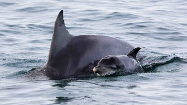 A dolphin mother and her newborn in Shark Bay.