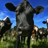 Crypto cows: Farmers use manure to power cryptocurrency mines