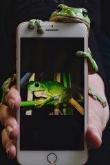 Godzilla, an Australian green tree frog.