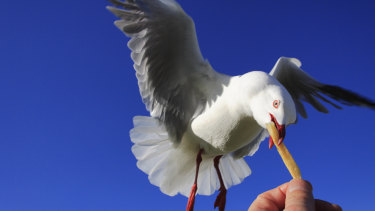 Australian seagulls like their UK cousins are also notorious for chip stealing.
