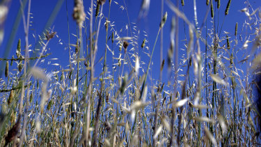 Grass pollen is believed to be the main cause of hay fever