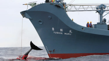Japan has conducted an annual whale hunt in the Southern Ocean, ostensibly for scientific purposes, despite international condemnation  In a file picture, the Yushin Maru was filmed harpooning a whale.