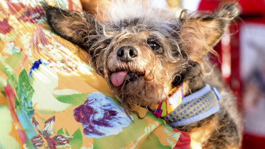 Scamp the Tramp rests after winning the World's Ugliest Dog Contest at the Sonoma-Marin Fair in Petaluma, California.
