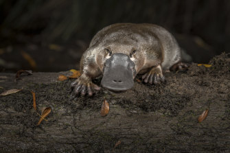 The shy platypus lives in burrows, feeds  when it's dark and dives into the water at the sight of people.