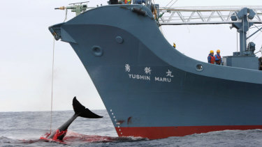 Japan conducts its annual whale hunt in the Southern Ocean, ostensibly for scientific purposes, despite international condemnation. It wants an end to a decades-old ban on commercial whaling.