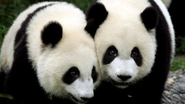 Pandas are one of the many threatened species around the world.