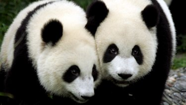 Normal pandas, seen here at the Chengdu Research Base of Giant Panda Breeding, in Sichuan, have identifiable black markings and brown eyes.