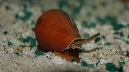 Racing officials suspect deadly sea snail venom used as illegal drug