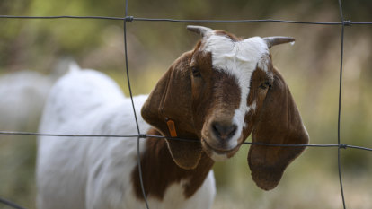 With weedkiller on the nose, councils using goats as chewers of choice