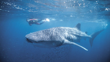 A whale shark with divers in Ningaloo Marine Park.
