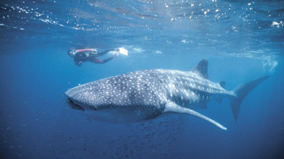 Cruising whale sharks could damage bid to industrialise Exmouth Gulf