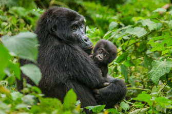 Primates raided human food supplies in Uganda when communities moved into forested areas.