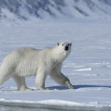 A polar bear in Svalbard. Hunting bears has been banned since 1973.