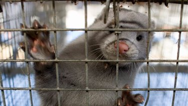 The minks culled to prevent coronavirus mutations spreading have risen to the surface of the burial ground.