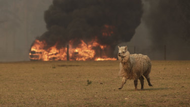 Bushfire approaches a lone alpaca in a paddock at a property in Orangeville.