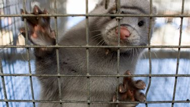 Experts says Australia should not be concerned about a cull of millions of minks in Denmark due to a coronavirus strain linked to the animals.