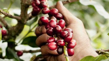 A farmer harvesting coffee beans.
