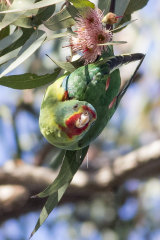 The critically endangered swift parrot feeds on flowering eucalyptus trees.