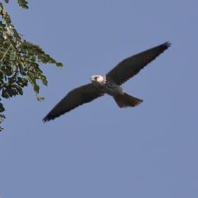 Falcon hunters turn protectors in India