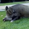 Grunt the porker no longer a walker after pet pig cops Wang street ban