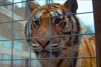 Retired cop turned animal advocate Tim Harrison explores the squalid world of big-cat breeding.